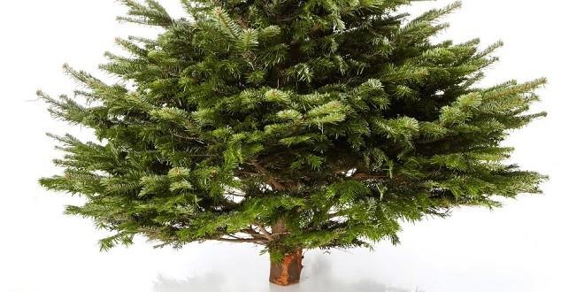 echter weihnachtsbaum nordmanntanne online kaufen. Black Bedroom Furniture Sets. Home Design Ideas